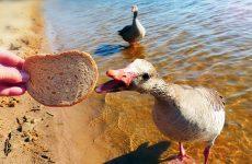 Можно ли кормить гусей хлебом