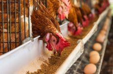 Норма корма для курицы-несушки
