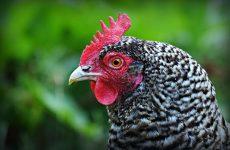 Пестрые породы кур
