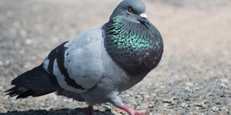 Почему голуби кивают