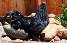 Порода черных кур, которая несет черные яйца