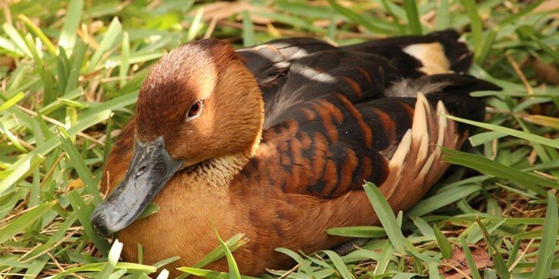 Породы коричневых уток
