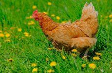 Породы рыжих кур