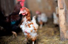 Пухопероед у куриц