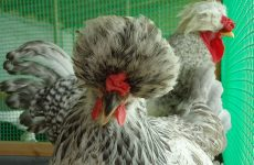 Русская хохлатая порода кур