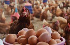 Самые яйценоские породы кур