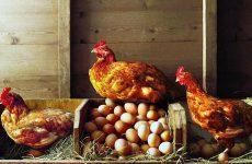 Сколько времени формируется яйцо у курицы
