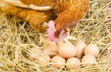 Сколько яиц подкладывать под наседку