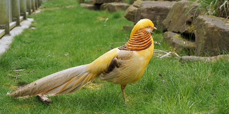 Содержание и разведение лимонных фазанов