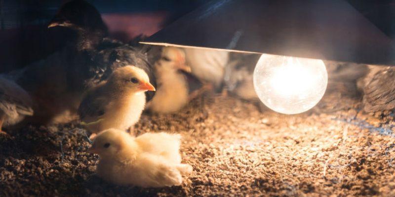 Световой день для цыплят