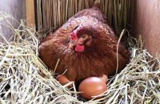 У курицы выпал яйцевод