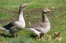 Уральские гуси: описание породы
