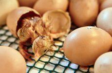 Время инкубации куриных яиц