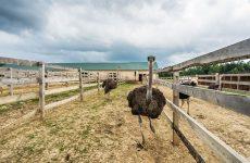 Выращивание страусов как бизнес