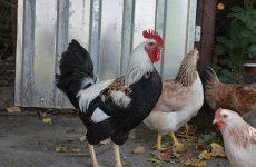 Загорская порода кур